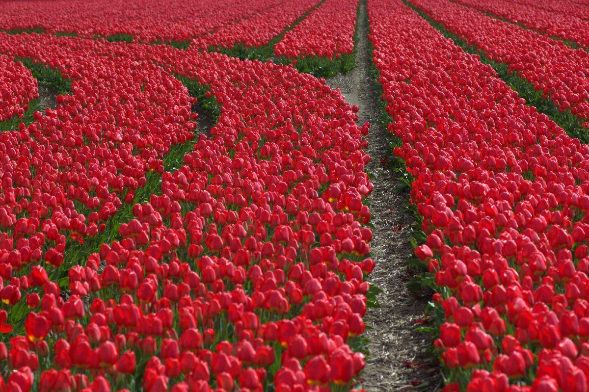 Een tulpenveld waar de rijen afbuigen